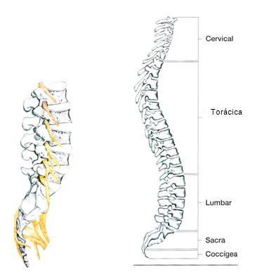 forma de la columna vertebral: