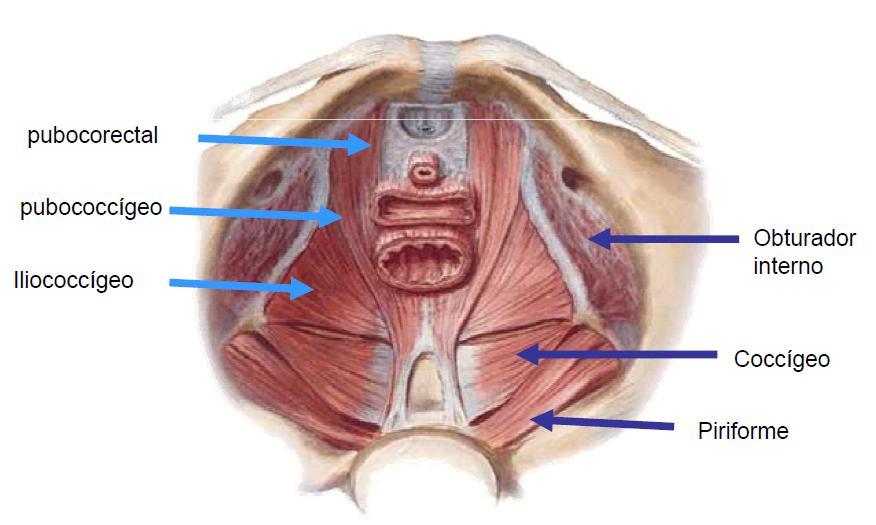 modulo de anatomia: PELVIS
